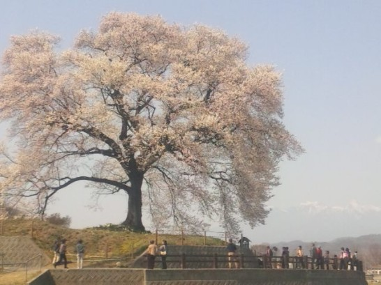 韮崎市のわに塚の桜