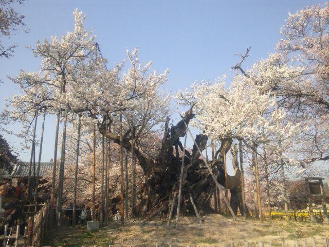 実相寺の山高神代桜